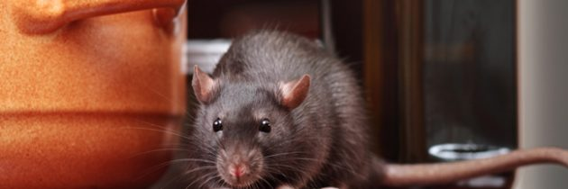 Rat And Mouse Prevention Tips