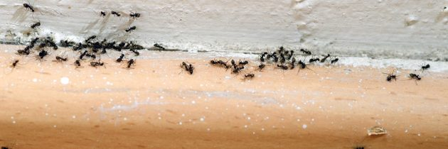 A Deeper Look Into The Life of Ants That Exist In Your House